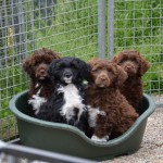Portugese waterhonden puppies