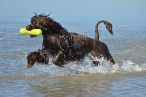 Portuguese waterdog pictures